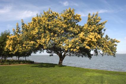 Acacia Tree - iStock_000001374025XSmall